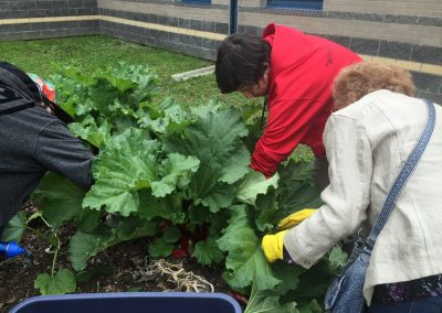 Picking rhubarb from one of CCHS's Raised Bed Gardens